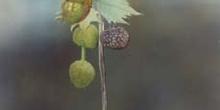 Plátano - Fruto (Platanus orientalis)