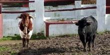 Ganado taurino en la Venta de El Batán, Madrid
