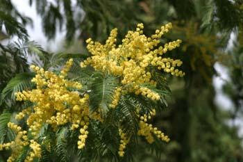 Mimosa - Flores (Acacia dealbata)