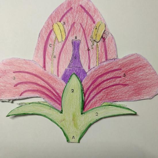 Flor corola roja y rosa