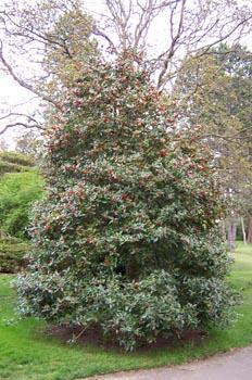Acebo, Parque Beacon Hill, Victoria