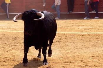 Toro de Lidia