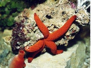 Estrella (Echinagaster sepositus)