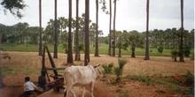 Extracción de aceite de coco