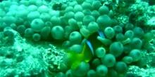 Pez payaso del Mar Rojo (Amphiprion bicinctus)