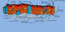 Membrana celular  (eucariota vegetal)