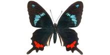 Parides gundlaichanus (Sudamérica)