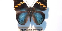 Apaturina erminea (Nueva Guinea)