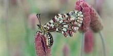 Arlequín (Zerynthia rumina)