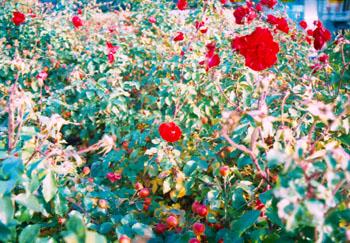 Mata de rosas