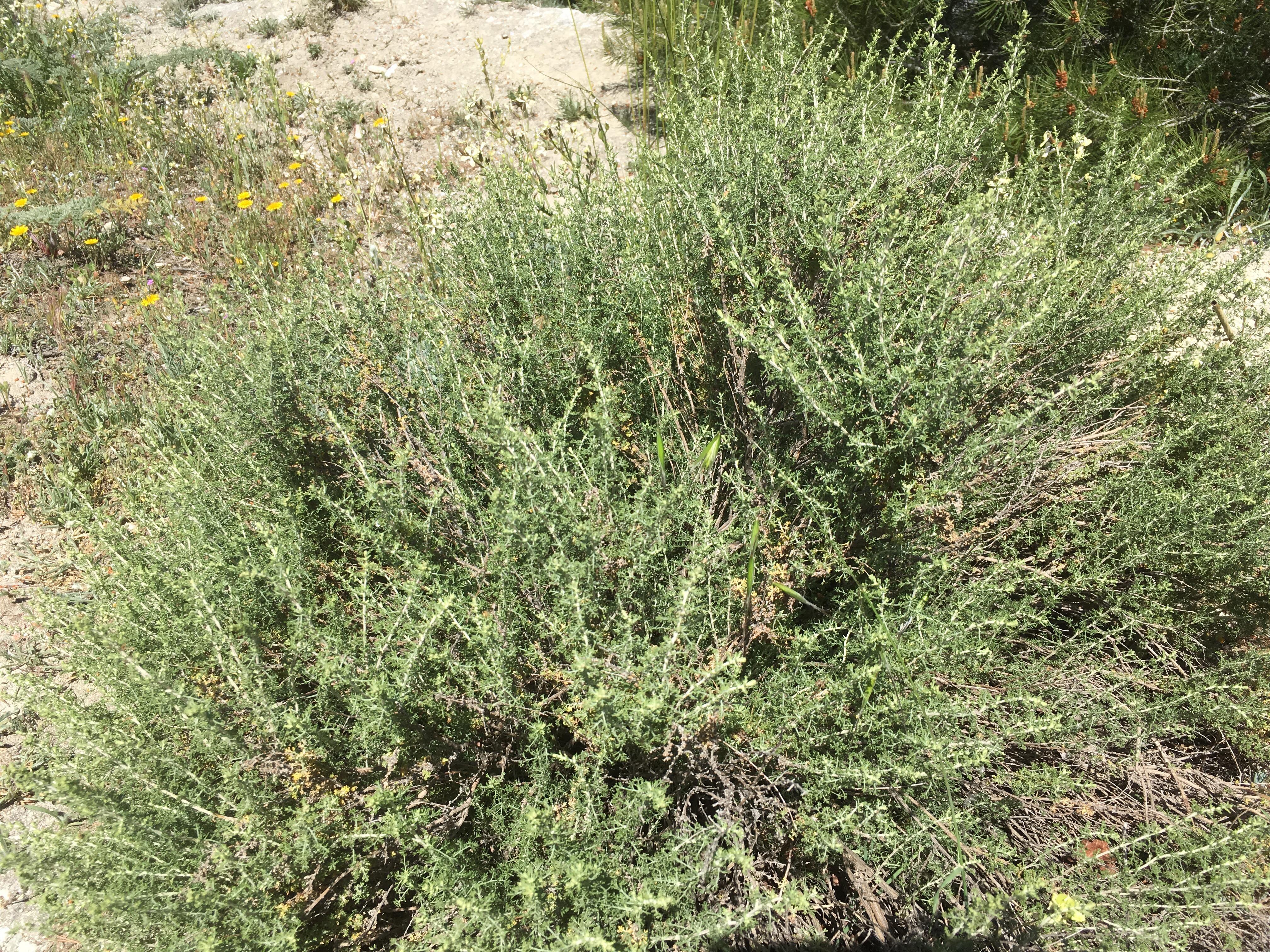 Asphodelus ramosus_3