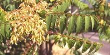 árbol del cielo - Hoja (Ailanthus altissima)