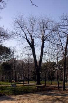 Árbol El Pantalones, Parque del Retiro, Madrid