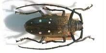 Batocera rubus (Asia)