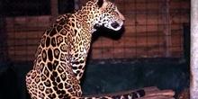 Leopardo en el zoológico de Flores, Guatemala