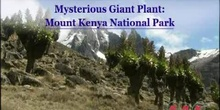 Mysterious Giant Plant: Mount Kenya National Park: UNESCO Culture Sector