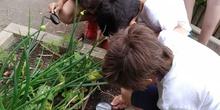 2019_06_07_Los alumnos de Quinto observan los insectos del huerto_CEIP FDLR_Las Rozas 3