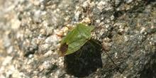 Chinche de escudo verde (Palomena prasina)