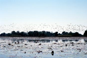Estampida de aves, Botswana