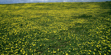 Vegetación rasa del Cabo de Peñas, Gozón, Principado de Asturias