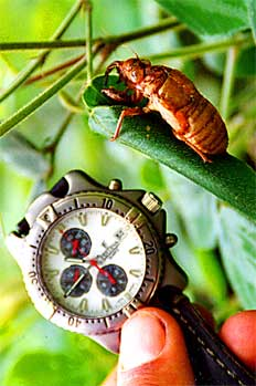 Escarabajo de la región del valle de Baliem, Irian Jaya, Indones
