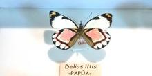 Delias iltis (Nueva Guinea)