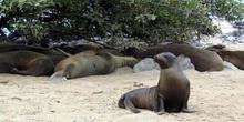 Colonia de lobos marinos en Isla Lobos, Ecuador