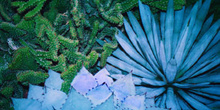 Plantas azules de clima desértico
