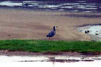 Pájaro Matuku Moana en la playa, Nueva Zelanda