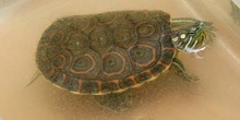 Tortuga pintada (Chrysemis picta)