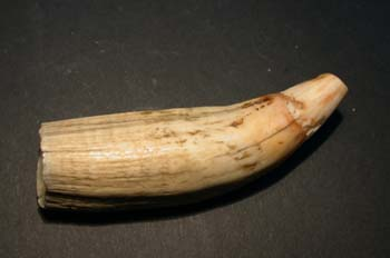 Cetáceo (Mamíferos) Holoceno