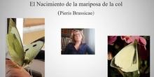 Nacimiento de la mariposa brassicae.