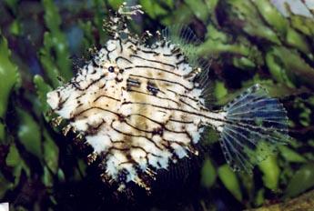 Pez lima (Chaetodermis penicillius)