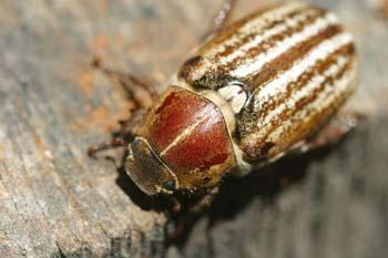 Escarabajo sanjuanero rayado (Anoxia australis)