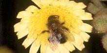 Abeja (Himenóptero sp.)