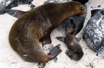 Hembra de lobo marino con su cría, Zalophus californianus, Ecuad