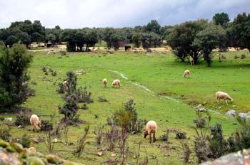 Ganado bovino y lanar, San Lorenzo del Escorial, Madrid