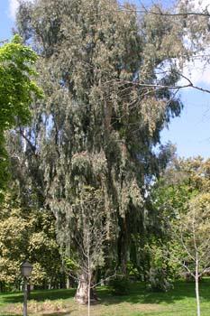 Eucalipto colorado - Porte (Eucalyptus camaldulensis)