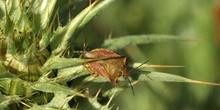 Chinche de escudo (Carpocoris fuscispinus)