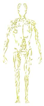 Sistema linfático humano