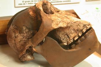 Craneo (Australopithecus Bisei)