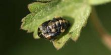 Mariquita (Coccinela septempunctata)