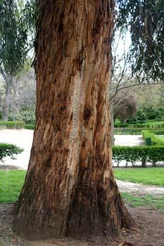 Eucalipto colorado - Tronco (Eucalyptus camaldulensis)