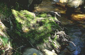 Aliso -Raíz (Alnus glutinosa)