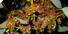 Flores y semillas de eucalipto, Australia