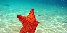 La regeneración en las estrellas de mar