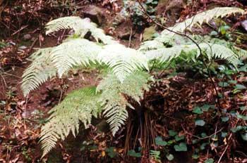 Planta (helecho)