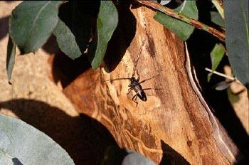 Longicornio del eucalipto (Phoracantha semipunctata)
