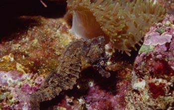 Caballito de mar (Hippocampus sp.)