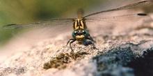 Libélula cernícalo (Onychogomphus uncatus)